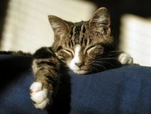 Cat Sleeping. Cat sleeps on top of couch Royalty Free Stock Images