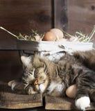 Cat Sleeping auf hölzernem Regal mit Eiern Lizenzfreie Stockfotografie