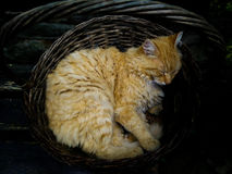 Cat sleeping in the basket. Beautiful yellow cat sleeping inside the old basket Royalty Free Stock Photo