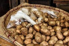 Cat sleeping in a basket of potatoes Stock Photos