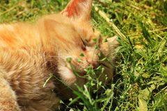 The cat is sleeping. Beautiful red cat lying in the grass.  royalty free stock images