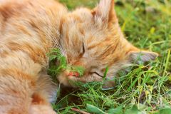 The cat is sleeping. Beautiful red cat lying in the grass.  royalty free stock photos