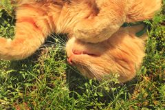 The cat is sleeping. Beautiful red cat lying in the grass.  royalty free stock photography