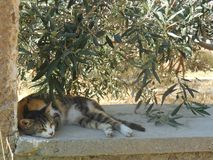 Cat Sleeping Beneath Olive Tree Lizenzfreie Stockbilder