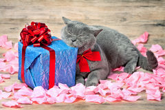 Cat sleeping on blue gift. With a red ribbon with big bow on the roses petals stock image