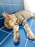 Cat sleeping on the blue tile. Close up portrait of adorable male tabby cat relaxing and sleeping comfortably on the blue tile Stock Photography