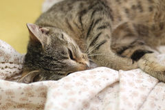 Cat sleeping Royalty Free Stock Photo