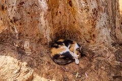 Cat sleeping in the cavity of the olive tree, Morocco Stock Photography