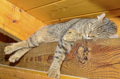 Cat Sleeping on Ceiling Rafters. Beautiful Highland Lynx cat sleeping on the rafters in a ceiling, they will find a hiding place anywhere to take a nap stock photography