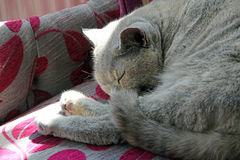 Cat sleeping on chaise. Photo of a pedigree british shorthair cat sleeping on her chaise lounge for sheer relaxation! april 2016 royalty free stock images