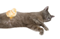 Cat sleeping with chick Stock Photos