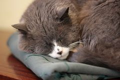 The cat is sleeping. Close-up royalty free stock photography