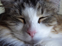 Cat sleeping close-up. Close-up on cat`s face with eyes shut Stock Image