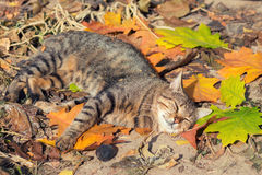Cat sleeping on the colorful leaves Stock Photography