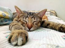 Cat sleeping on the couch. Close portrait of adorable male tabby cat relaxing and sleeping comfortably on the couch Royalty Free Stock Photo