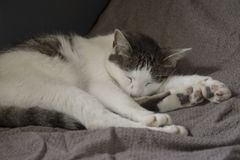 The cat is sleeping and dreaming royalty free stock photos