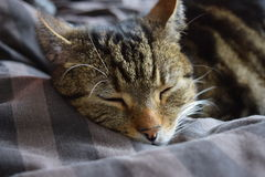 Cat Sleeping domestique Photographie stock libre de droits