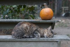 Cat Sleeping en banco con la calabaza imagen de archivo libre de regalías