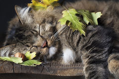 Cat Sleeping with Fall Leaves. A brown tabby cat sleeping on old wood shelf amongst fall leaves Royalty Free Stock Image