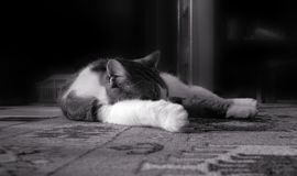 A cat is sleeping on the floor carpet. Probably dreaming in black and white tones Royalty Free Stock Images