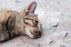 Cat sleeping Royalty Free Stock Image