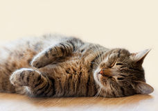 Cat sleeping on the floor lying on her back. Tabby cat sleeping on the floor lying on her back stock images
