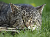 Cat sleeping in the grass Royalty Free Stock Photos