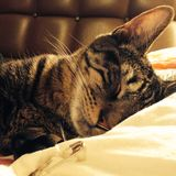 Sleeping cat on a pillow Stock Photography