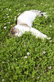Cat Sleeping On Green Grass Royalty Free Stock Images