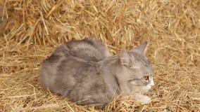 Cat Sleeping On Hay In The Barn stock video footage