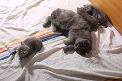 Cat sleeping with her kittens. Cat sleeping with her baby kittens in bed Royalty Free Stock Image