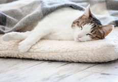 Cat sleeping at home. Pet under blanket royalty free stock photos