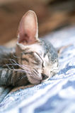 Cat sleeping at home Stock Photography