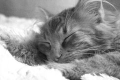 Cat. Sleeping cat in the house Royalty Free Stock Photo