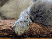 Cat Sleeping stockfoto