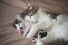 Cat sleeping with kitten and hugs him. A Cat sleeping with kitten and hugs him Stock Images