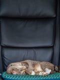 Cat Sleeping Lazy en una silla de la oficina Foto de archivo libre de regalías