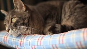 Cat before sleeping. Looking at the window stock footage