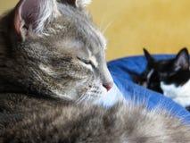 Cat Sleeping nacional foto de archivo libre de regalías
