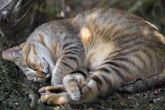 Cat Sleeping Orelha-derrubada na máscara da árvore imagens de stock