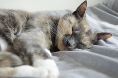 Cat. A sleeping pet cat. Catnap Royalty Free Stock Image