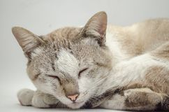 Cat Sleeping Pet Cute Cat Gray White Fotos de Stock