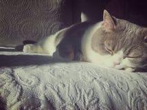 Cat sleeping. Scotish straight cat sleeping in the sun royalty free stock image