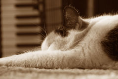 Cat sleeping, sepia-toned Royalty Free Stock Photos