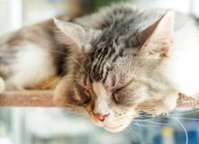 Cat sleeping on the shelves.  Royalty Free Stock Photography
