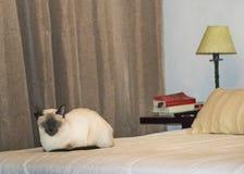 Cat Sleeping siamesa en la cama imagen de archivo