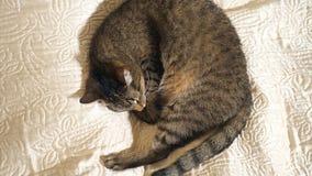 Cat sleeping on the sofa. Close up stock video