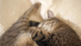 Cat sleeping on the sofa. Close up. pointing the focus and camera on the cat stock video