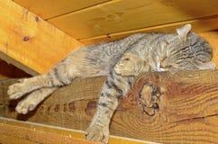 Cat Sleeping sulle travi del soffitto Fotografia Stock