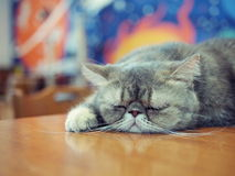 Cat. Sleeping cat on a table Royalty Free Stock Photography